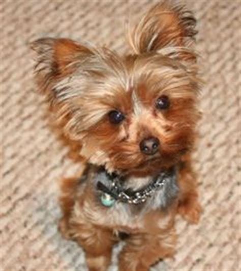 do yorkies need haircuts yorkie cuts on yorkie haircuts and yorkies