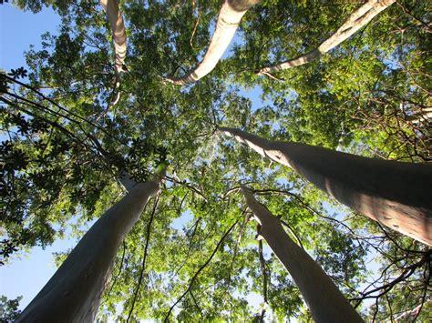 eucalyptus trees flora hawai i s plants