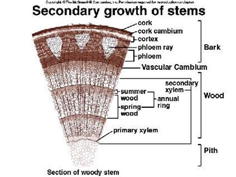 woody dicot stem cross section biology 10 topic 8 plant parts