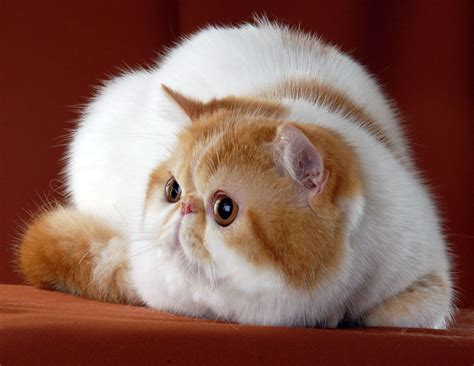 Exotic shorthair cats, kittens. Sold kittens of cattery