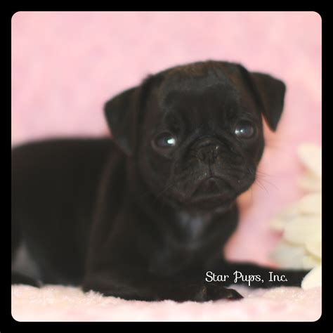 pug products shop pug f black sold pups