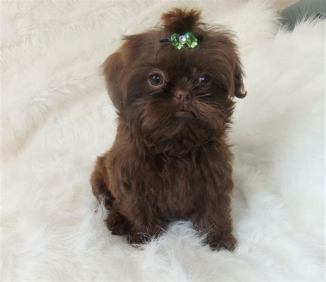 shih tzu imperial for sale karashishi imperial shih tzu romsey hshire pets4homes