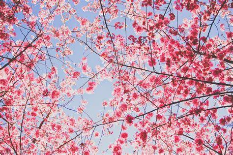 new year blossom tree cherry blossom fisherman horizon