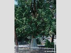 Zacchaeus | eBibleTeacher Zacchaeus Bible Story