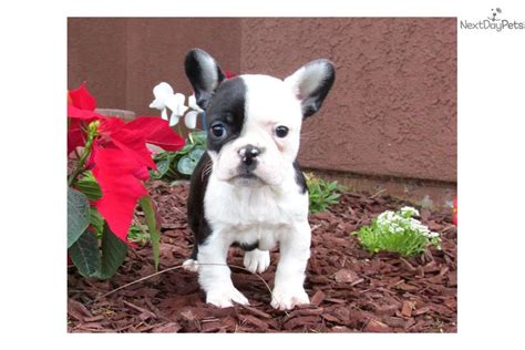 frenchton puppies for sale frenchton puppies for sale breeds picture