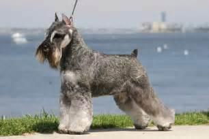 Miniature schnauzer dog photos doglers