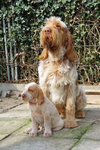 spinone italiano puppies bracco spinone italiano benvenuto