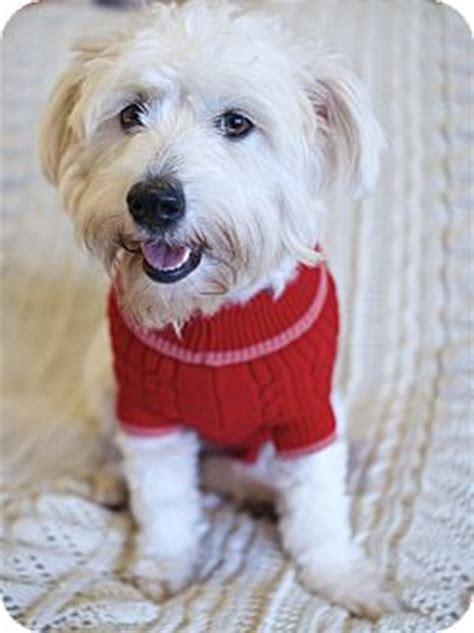 havanese westie west simsbury ct westie west highland white terrier havanese mix meet fabulous