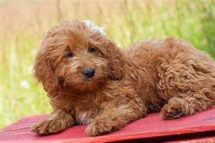 goldendoodle expectancy goldendoodles welcome