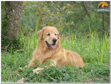 golden retriever venda golden calli golden retriever canil especializado quanto custa um golden retriever