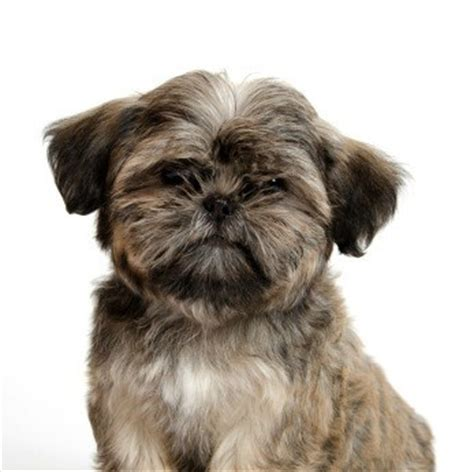 shih tzu guide shih tzu breed information and photos thriftyfun