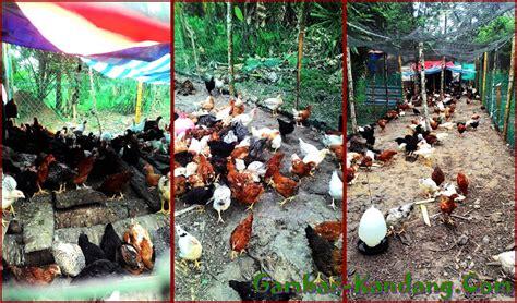 Jaring Pagar Ayam Malaysia contoh kandang ayam kung sederhana cocok bagi