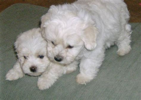 havanese puppies in louisiana 112 best images about havanese cuba on dogs abyssinian cat and image