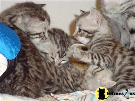 baby bengal kitten prices baby bengal kittens sale newhairstylesformen2014 com