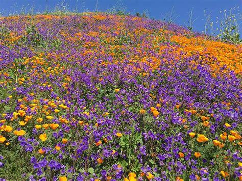 california desert flowers california 2017 desert bloom unlike anything seen in