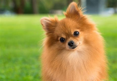 pomeranian temperament pomeranian breed information and photos thriftyfun