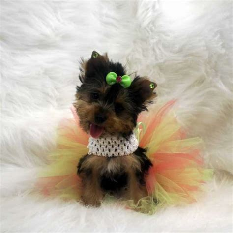 yorkies for sale in maryland cheap mini yorkie puppy for sale breeds picture