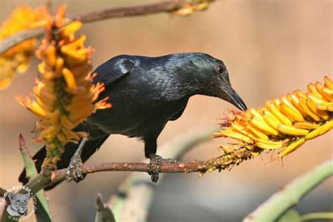 red winged starling