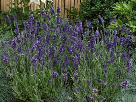 lavender ellagance purple fresh plants
