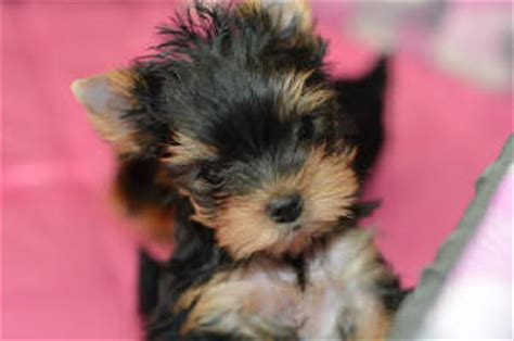 pictures of 6 week yorkie puppies yorkie puppies for sale artistry yorkies