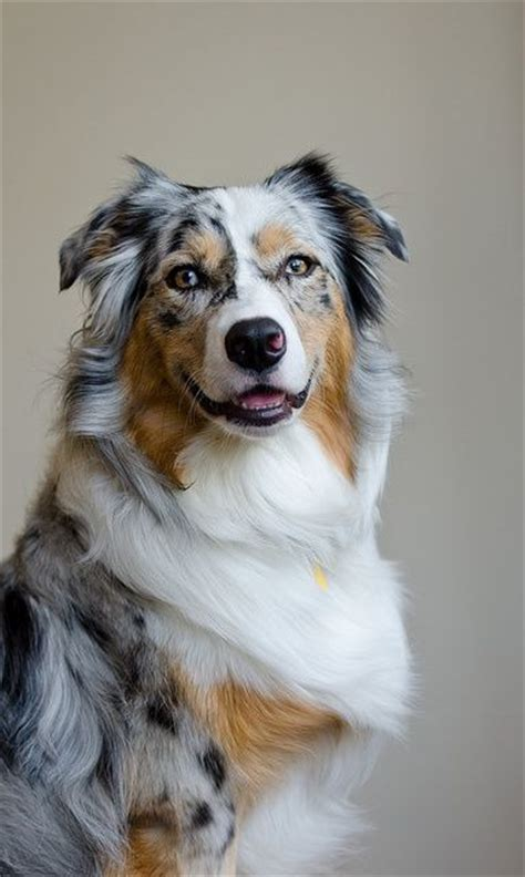 blue merle australian shepherd puppies 25 best ideas about blue merle australian shepherd on australian shepherd