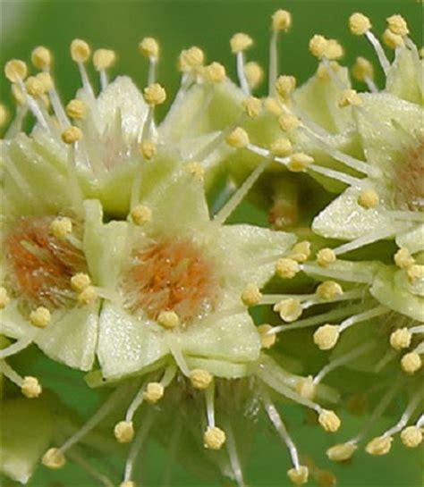 Benih Biji Bibit Bunga Ketapang Menarik bibit buah ketapang almond