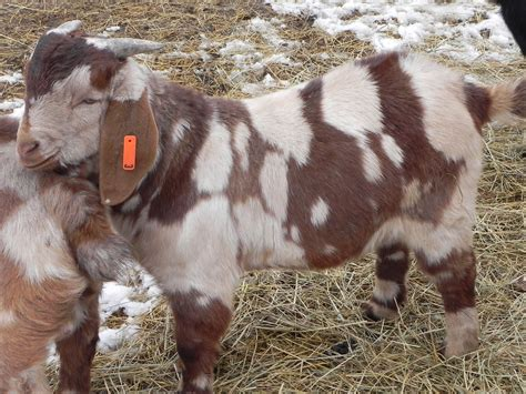 bucks sale price previously sold goats for sale in kentucky from run