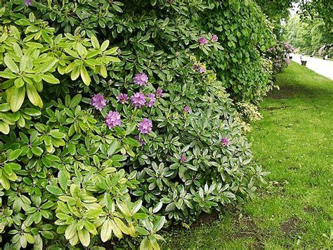 dosiero rhododendron hedge in zoo tierpark friedrichsfelde - Rhododendron Hecke