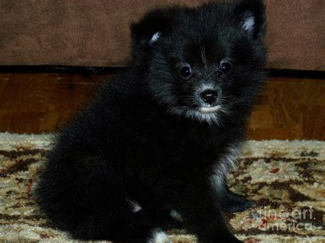 black and pomeranian pomeranian black and white