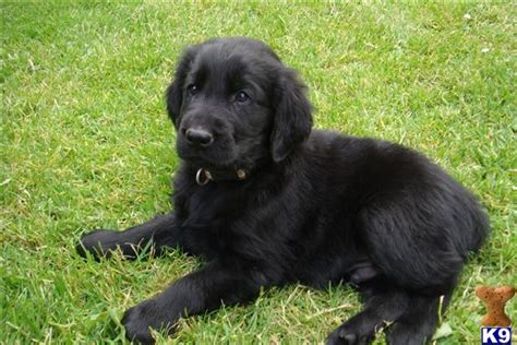 flat coated retriever puppy 1000 images about flatcoated retriever on flat coated retriever
