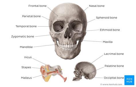head  neck anatomy structures arteries  nerves