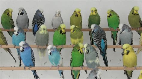 budgie colors parakeet colors varieties www pixshark images