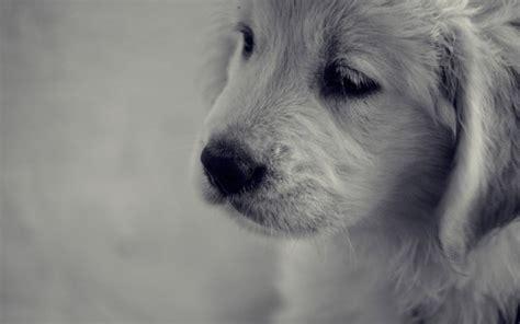 sad golden retriever puppy golden retriever puppy sad background desktop wallpaper by jennymari