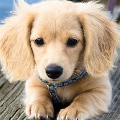 golden retriever weiner golden retriever dachshund