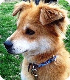 sheltie puppies mn 25 best ideas about shiba inu breeders on japanese akita akita and akita