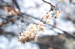 vancouver sakura diary species autumn flowering cherry