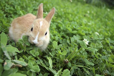 Rabbits In Garden by Garden Rabbit And Deterrent Tips