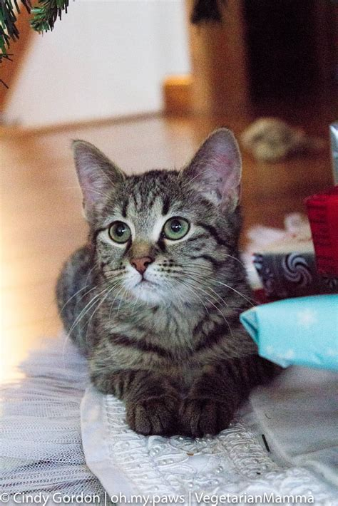 Cozy Cat Cottage Powell by Adopting A Kitten Cozy Cat Cottage And Petsmart