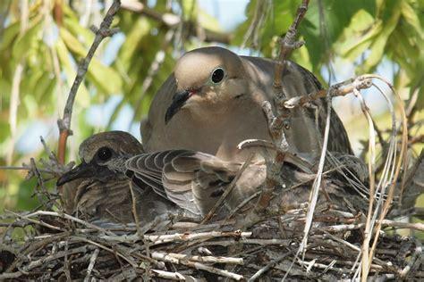birding is fun mourning dove momma