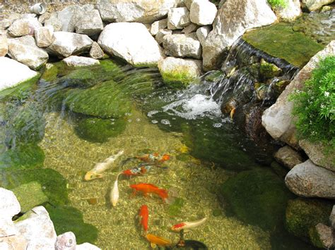 backyard koi ponds the koi pond in our backyard gardening pinterest