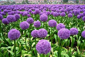 Flowering Onions - onion flowers in egmond holland flickr photo sharing
