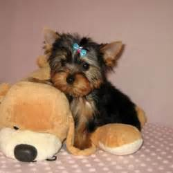 where can i buy teacup yorkies cheap yorkie puppies dogs our friends photo