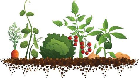vegetable garden illustrations royalty  vector