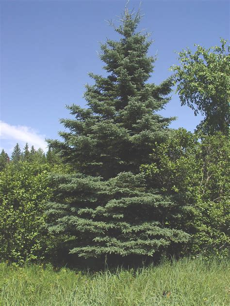 State Flower by Picea Glauca White Spruce Go Botany