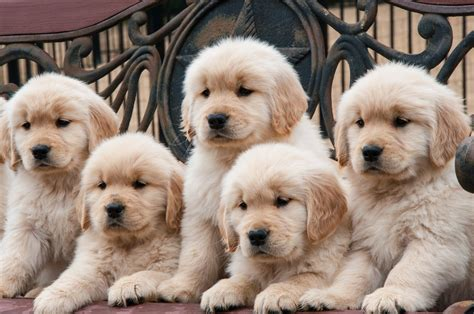 tucson puppies golden retriever puppies available in tucson az
