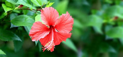 11 beautiful pictures of flowers project 4 gallery hibiscus flower fact definition of fact by the free