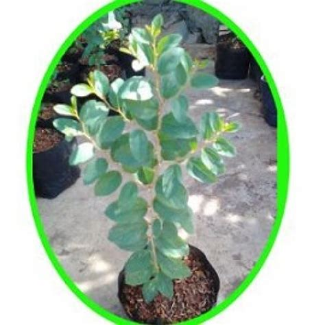Beli Bibit Pohon Daun Bidara jual tanaman pohon bidara hp 085608566034