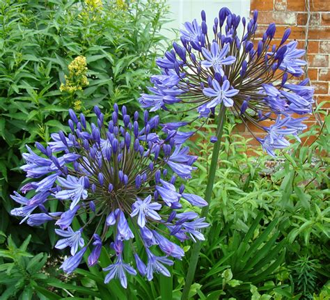 raveningham gardens special agapanthus weeks 2013 iceni post news from the north folk south folk