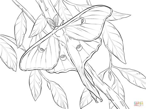 realistic nature coloring pages luna moth drawing www pixshark com images galleries