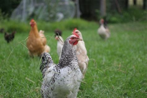 How To Keep Backyard Chickens How Many Chickens Do I Need To Keep Backyard Chicken